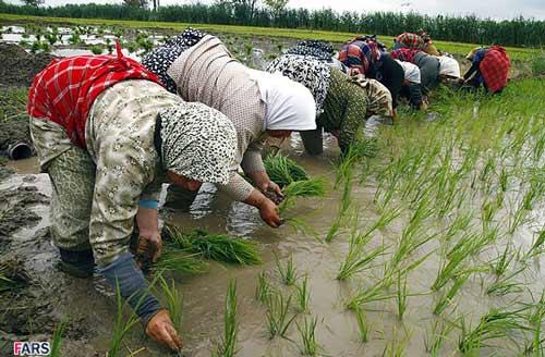 نشا کاری برنج زنان گیلان