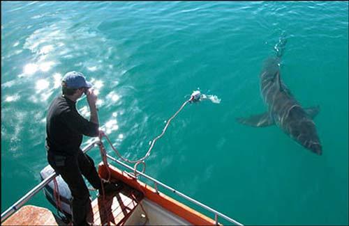 تصاویر جالب: زندگی با یک کوسه چهار متری www.TAFRIHI.com
