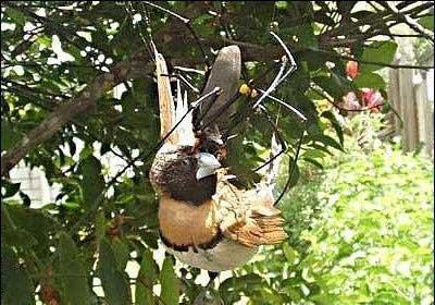 لانه عنکبوت سست تر است یا لانه مورچه خوار؟