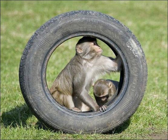 عکس های غارت یک ماشین توسط میمونها