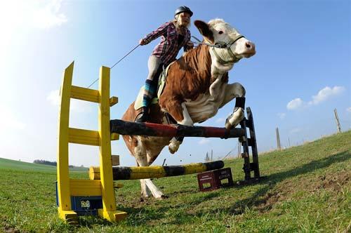 عکس   تصاویر پرش از موانع با گاو