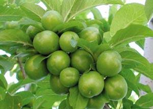 درخت گوجه سبز