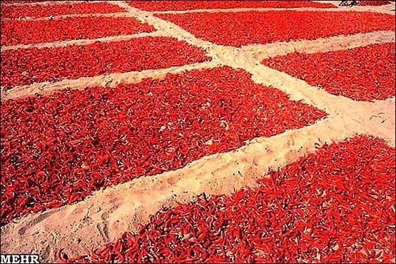 کاشت و برداشت فلفل قرمز