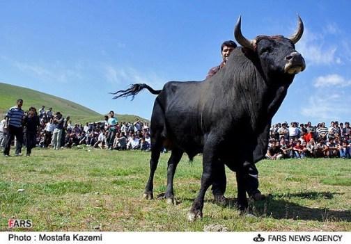 تصاویر: مراسم جنگ گاوها/ تصویری | دیده بان حقوق حیوانات ...