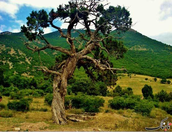 درخت عجیب شهرستان کلیبر