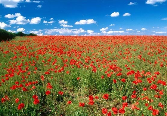 میله گل سرخ مزار