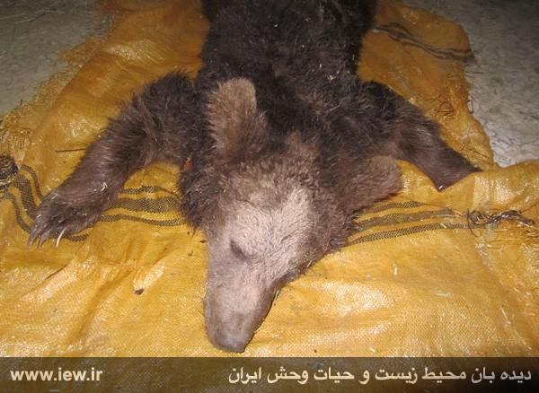 کشته شدن خرس قهوهای جوان با شلیک دو گلوله