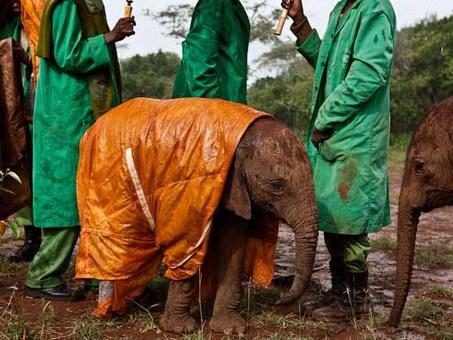 محیطبانهای کنیایی، بچه فیلی را با یک کاور از باران محافظت میکنند. Michael Nichols