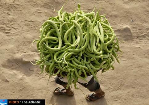 یک کشاورز در حال حمل محموله خیار مزرعه خود در هند.