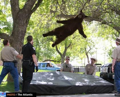 به دام انداختن یک خرس که در محوطه دانشگاه کلورادو پیدا شده بود.