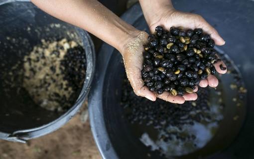 گران ترین قهوه دنیا که از مدفوع فیل در تایلند تهیه می شود + عکس