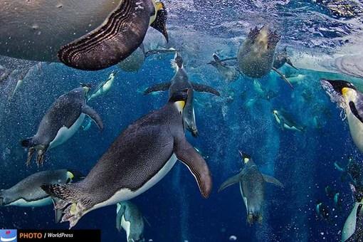 سفر پنگوئن های امپراتور قطب جنوب هم در دریچه دوربین پل نیکلن قرار گرفت و نام او را در میان برگزیده های وردپرس قرار داده است.